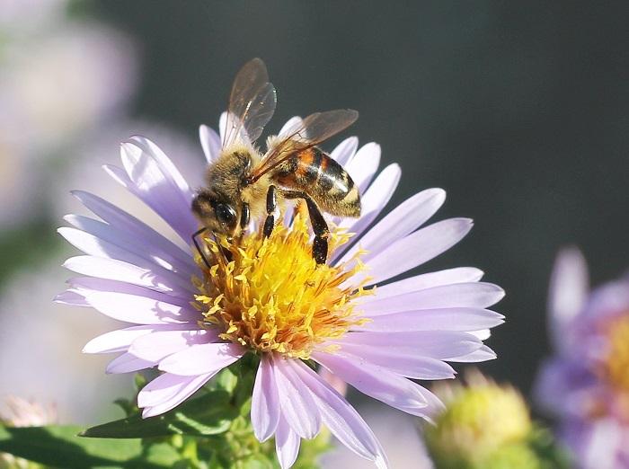 Die Biene soll parasitenfrei Nektar sammeln (Foto: Maja Dumat  / pixelio.de)